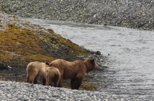 Alaskandream - grizzly met pubs rivier