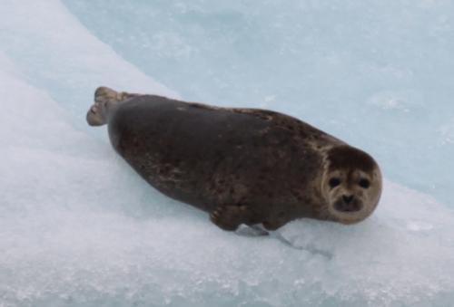 Alaskandream - zeehonden op ijs