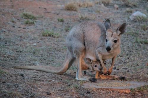 Alice Springs - Kangoeroe baby