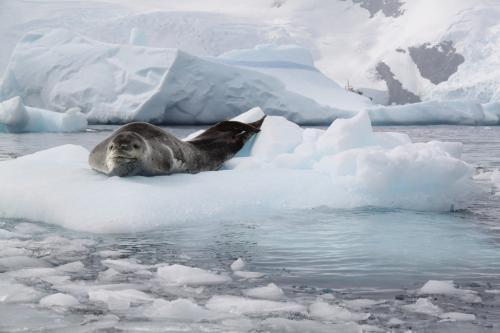 Antarctica - Leopard seal Feature foto
