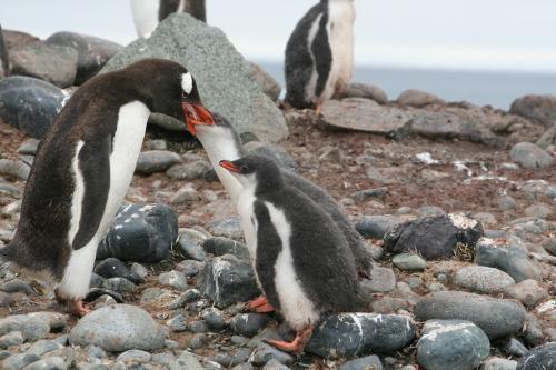Antarctica - Pinguin feeding