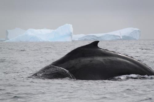Antarctica - Walvis rug