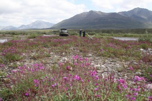 Arctic - Anatuvuk fireweed