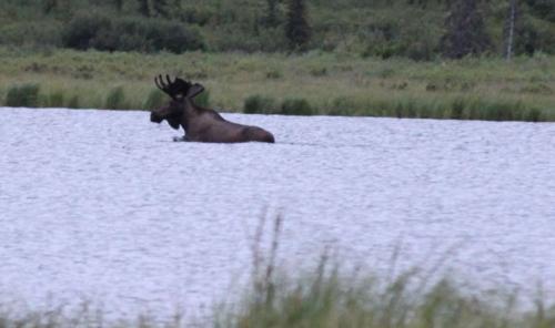Arctic - Moose male water