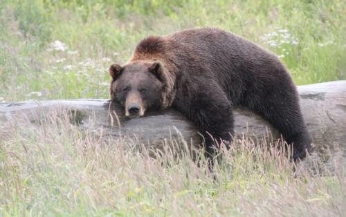 Arctic - black bear rust