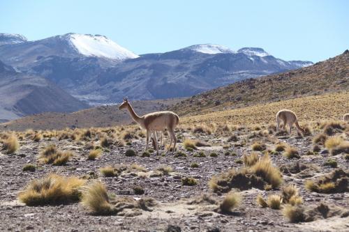 Atacama - Vicuna's