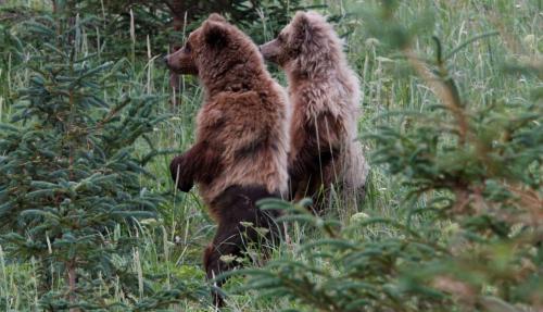 Bearcamp - brabanconne beren