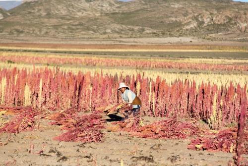 Bolivia - Quinoa