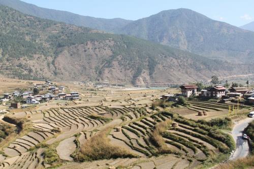 Buthan - Punakha ricefields