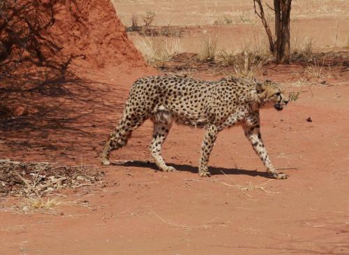 Cheeta passing