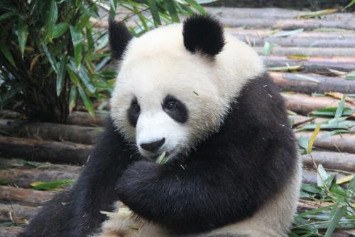 Chengdu - Bamboe kauwen