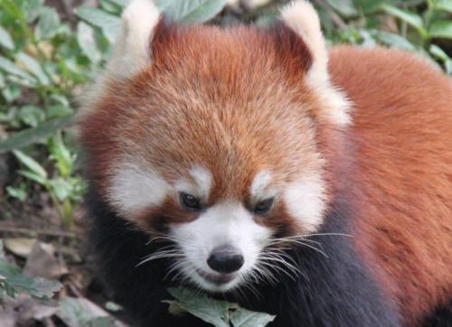 Chengdu - Kop red panda