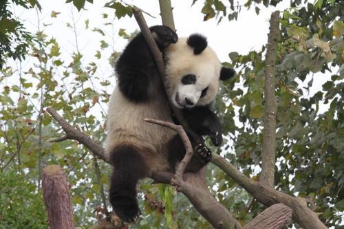 Chengdu - Panda Feature foto