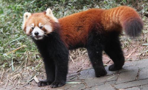 Chengdu - Red panda