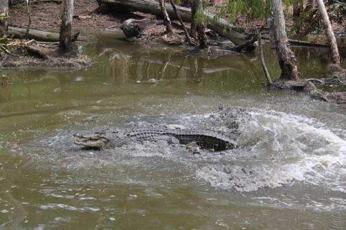 Daintree - croc attack