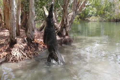 Daintree - croc jump