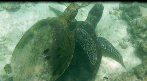 Fernando de Noronha - Twee schildpadden