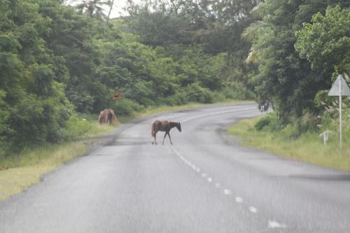 Fiji - paarden