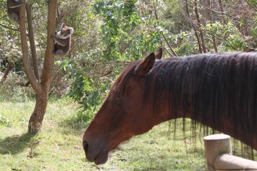 GOR - Koala paard