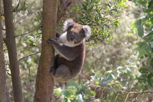 GOR - Koala
