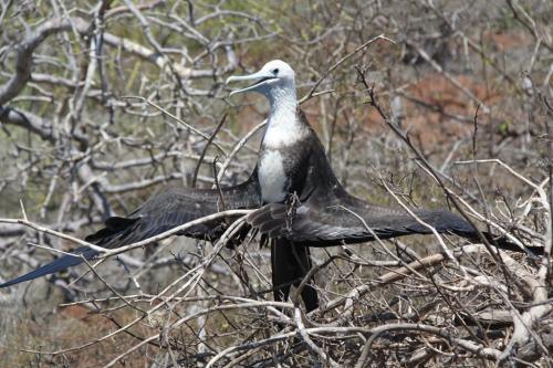 Galapagos - Drying bird