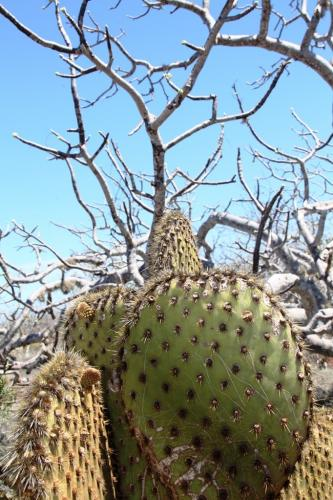 Galapagos - Groen cactus closeup