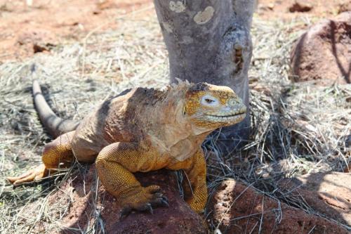 Galapagos - Land leguaan
