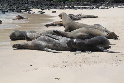 Galapagos - Moeder zeeleeuw en zuigeling