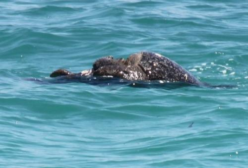 Galapagos - Parende zeeschildpad