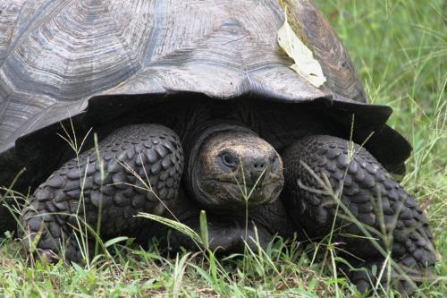 Galapagos - Schildpad close up