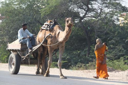 India - Camel transport