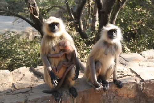 India - Monkeys