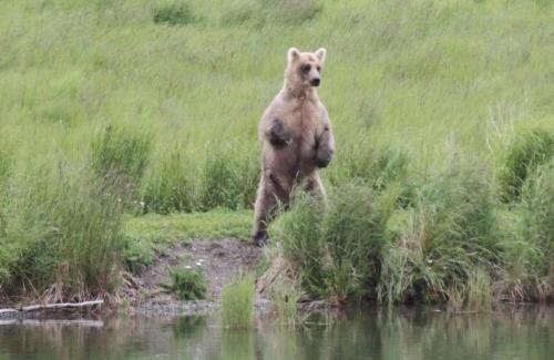 Katmai - brabanconne in berenland