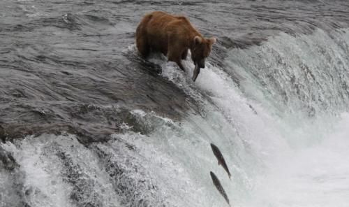 Katmai - feature image jumping salmon