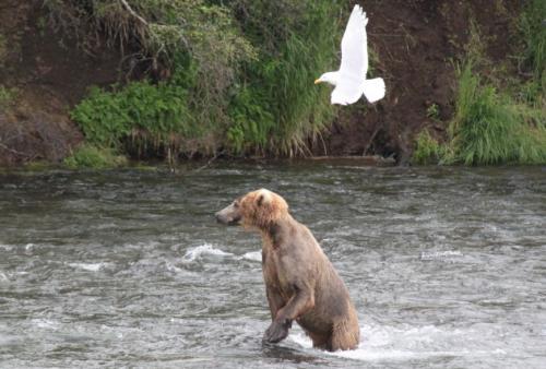 Katmai - natte  beer met duif