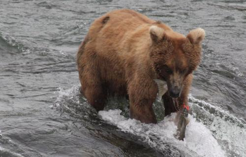 Katmai - salmon in two