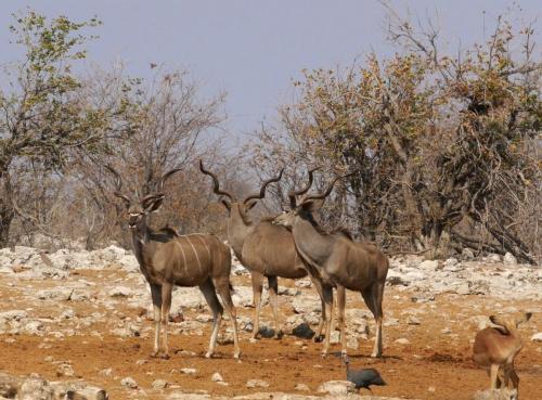 Kudu group