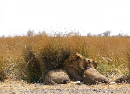 Lions couple sleeping