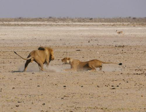 Lions premating