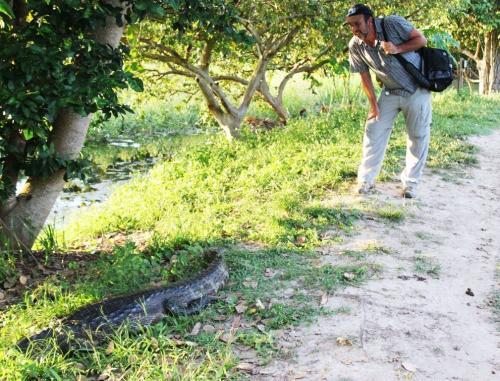 Mato Grosso - Camoufleerde kaaiman