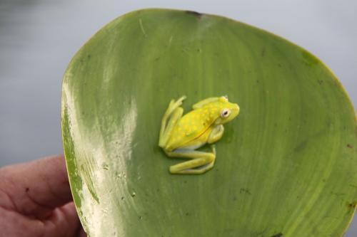 Mato Grosso - Groen gele Kikker