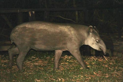Mato Grosso - Tapir