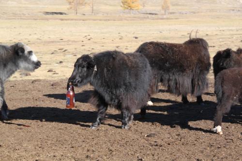 Mongolia - Yak met Bierfles