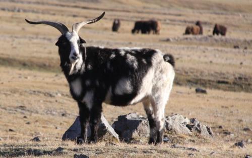 Nomaden - Zwartwit geit