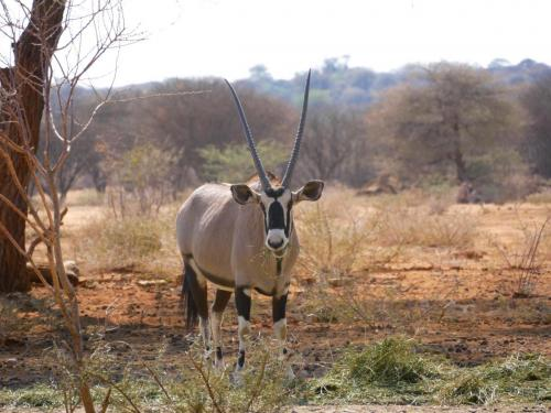 Oryx in front