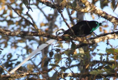 PNG - paradijsvogel