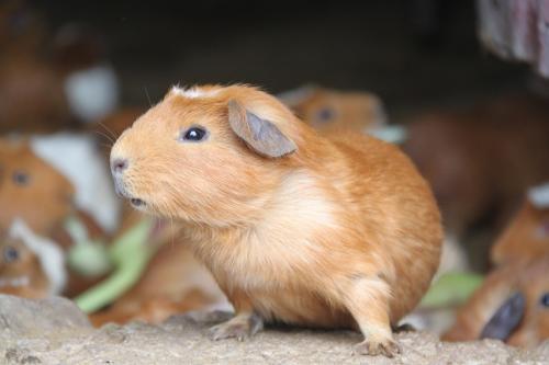 Peru - Guinea pig voor