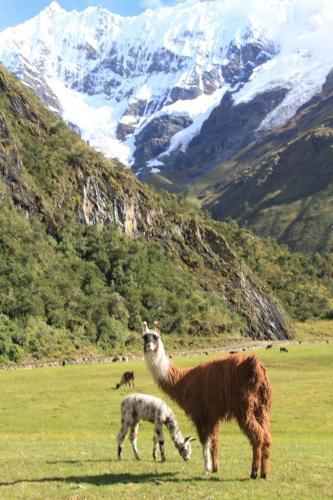 Peru - Lama Salkantay mt