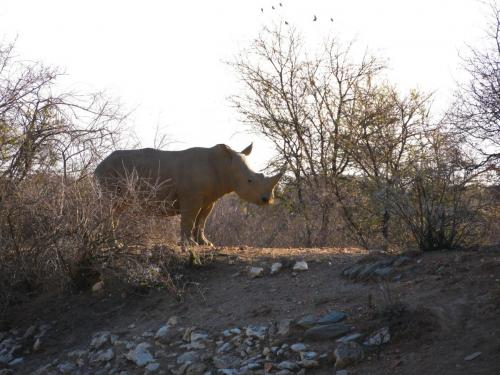 Rhino solo