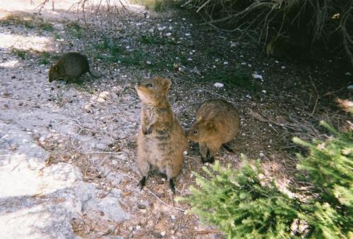 Rottness Island - Quokka Family